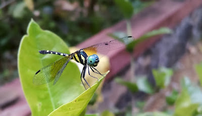 capung anisoptera