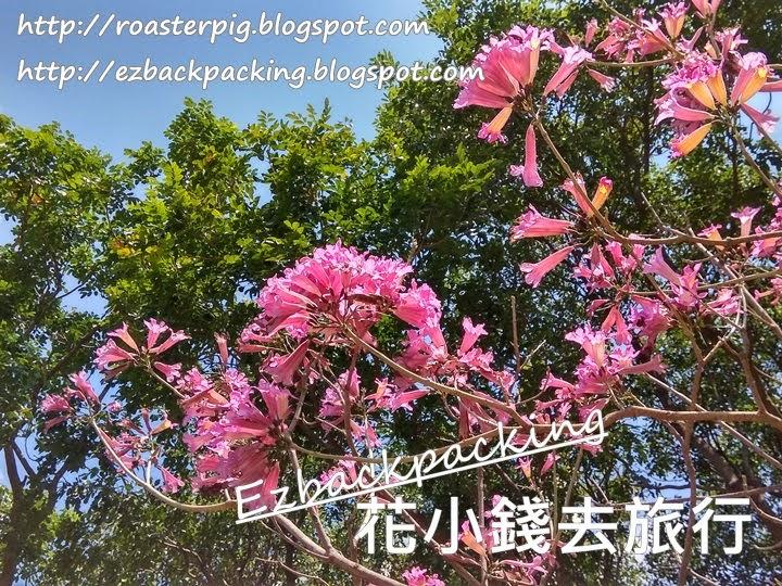 荔枝角紫花風鈴木