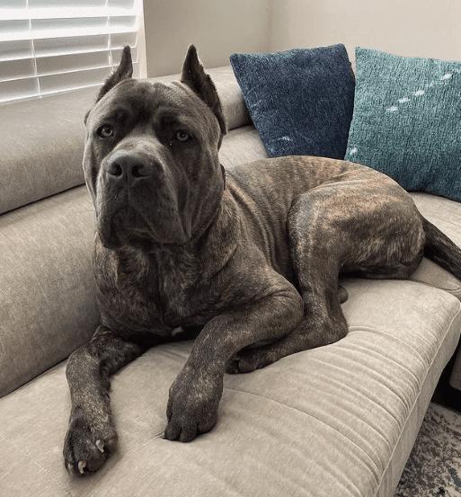 Cane Corso perro