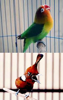 suara lovebird isian cililin