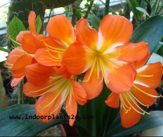Clivm Miniata Amaryllidaceae indoor Plant image