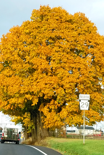image of a ginormous tree with zillions of bright gold leaves, along the side of the road