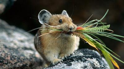 Antara Teknik Berkesan Halau Tikus Dari Rumah