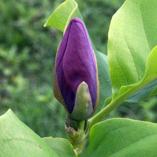 http://1.bp.blogspot.com/-WFslC8ixMWs/VdkiSkScqZI/AAAAAAAAAKY/mapyxqzxmzM/s320/Cempaka-ungu-Bunga-uang-Magnolia-liliiflora-02.jpg