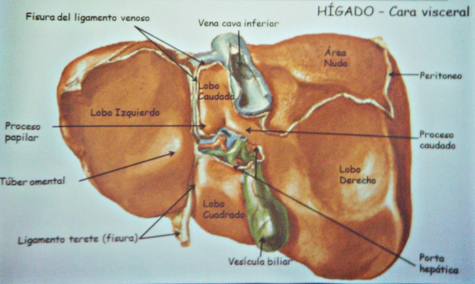 Hígado y vías biliares - Sistema digestivo