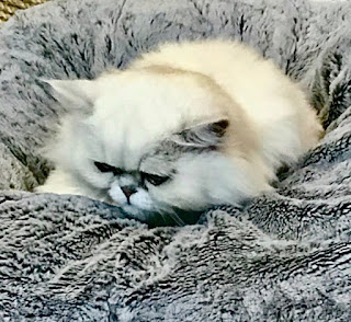 A zoom in picture of a white cat showing a grumpy expression on their face on a light brown square cushion on a bright background