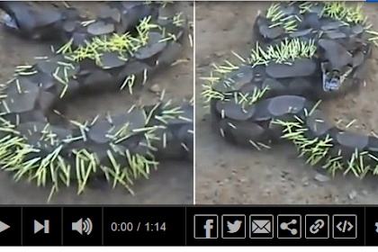 VIDEO: Salah Pilih Calon Mangsa, Tubuh Ular Malah Dipenuhi Duri