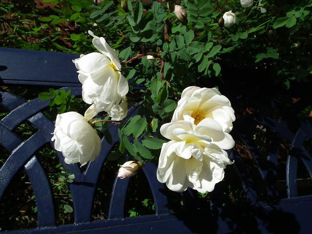 juhannusruusu, ruusu, kesä