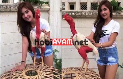 Ayam Saigon, Si Jago Botak Asal Vietnam