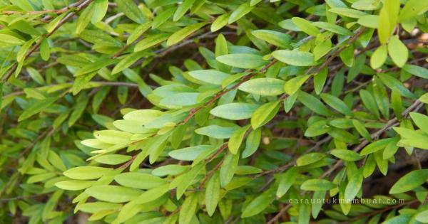 Pohon Cendrawasih