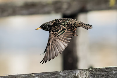 Starling Going Into Flight - Under the Wooden Bridge / Woodbridge Island