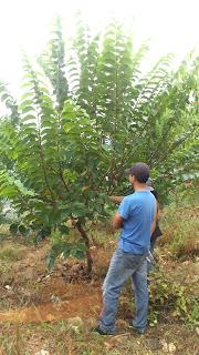 árbol atemoya chirimoya ramas erectas