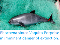 https://sciencythoughts.blogspot.com/2019/09/phocoena-sinus-vaquita-porpoise-in.html