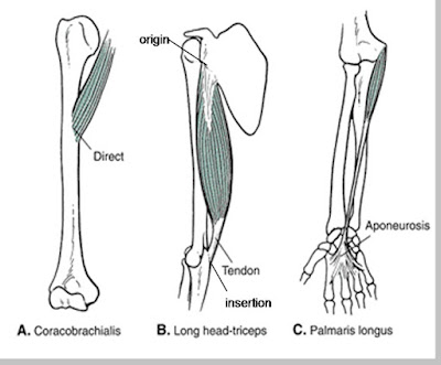 Perlekatan otot pada tulang atas - berbagaireviews.com