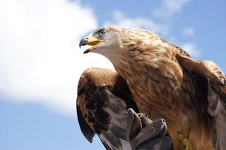 ciri khusus pada burung elang adalah