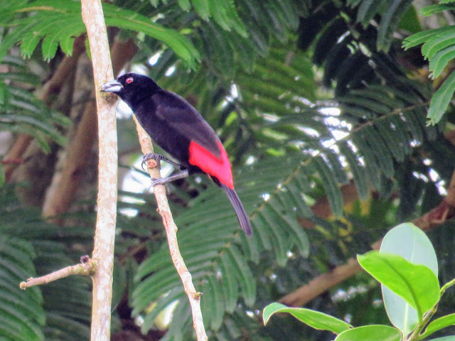 Costa Rica Birds: Scarlet-rumped Tanager
