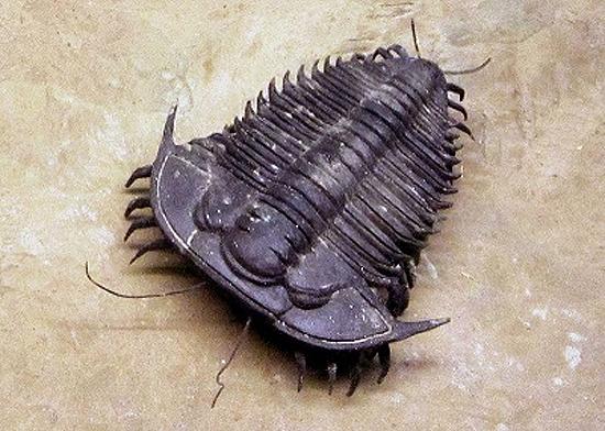 Trilobita especie