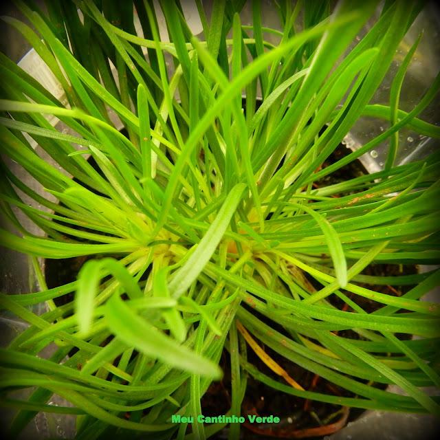 folhas da Armeria maritima