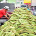 Safra de milho em Campina foi perdida por causa de irregularidade das chuvas