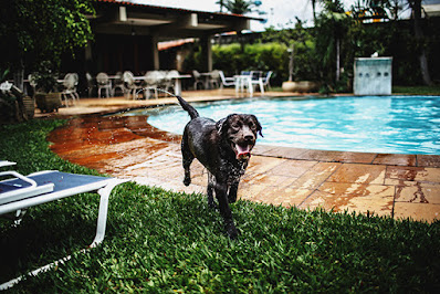 A photo of a dog next to a swimming pool. The dog is soaked in water and has obviously just gotten out of the pool.
