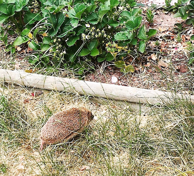 hedgehogs uk garden roaming