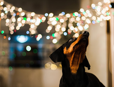 A brown and white dog is looking up while Christmas lights glitter behind his head