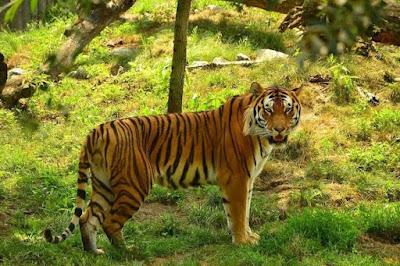 Harimau di Pos Pendakian Sibayak