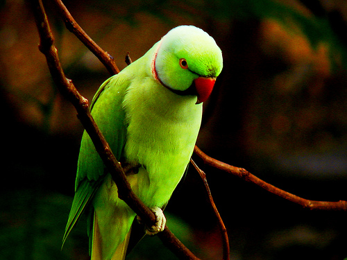 Wallpapers Hub Green Parrot