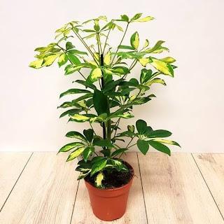 tanaman wali songo
