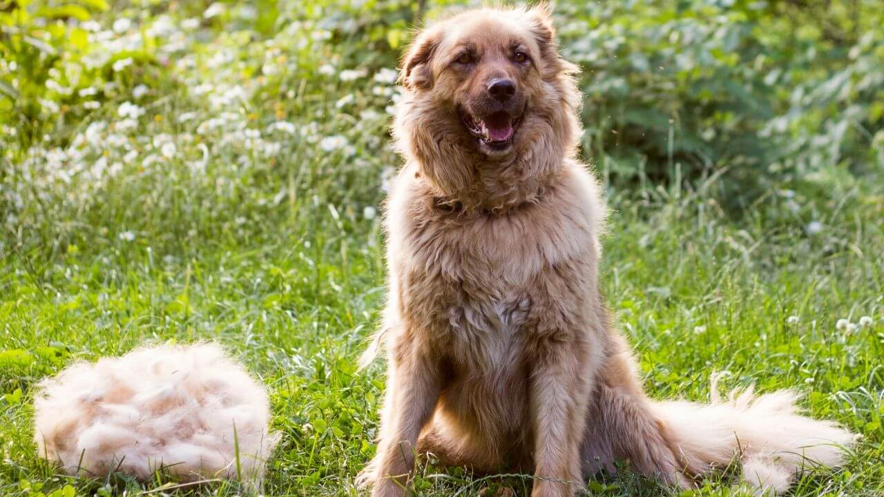 happy golden retriever coat