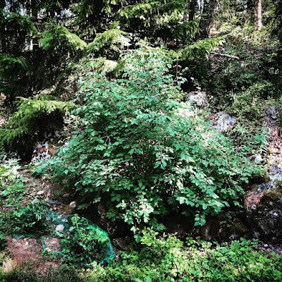 Lehtokuusamapensas metsän reunassa