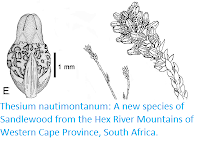 http://sciencythoughts.blogspot.com/2019/02/thesium-nautimontanum-new-species-of.html