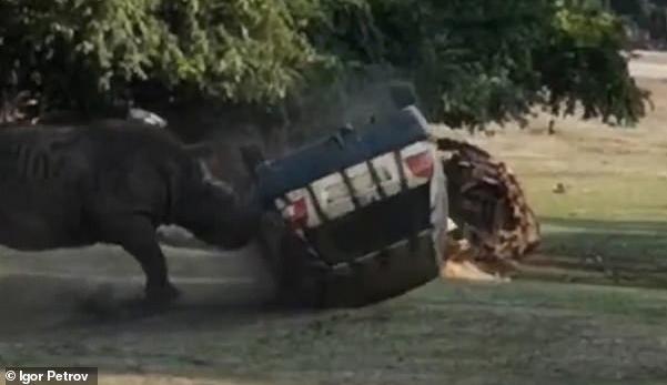 (Video) Badak mengamuk serang & terbalikkan kereta penjaga taman safari