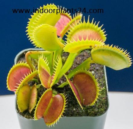 Dionaea Muscipula plant