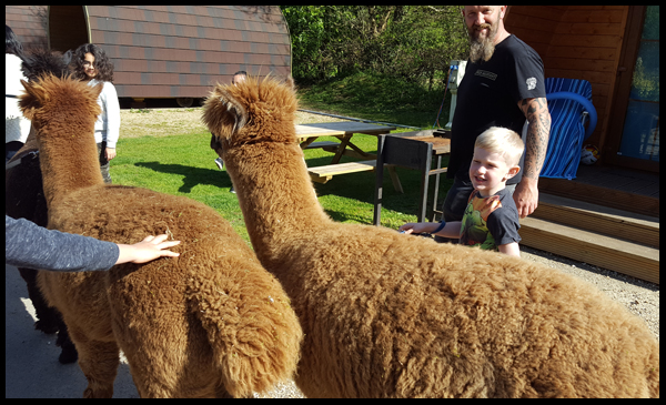 What we thought of the Alpaca experience at Sandy Balls in The New Forest