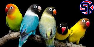 10 Jenis Lovebird dari Yang Termahal Hingga Termurah