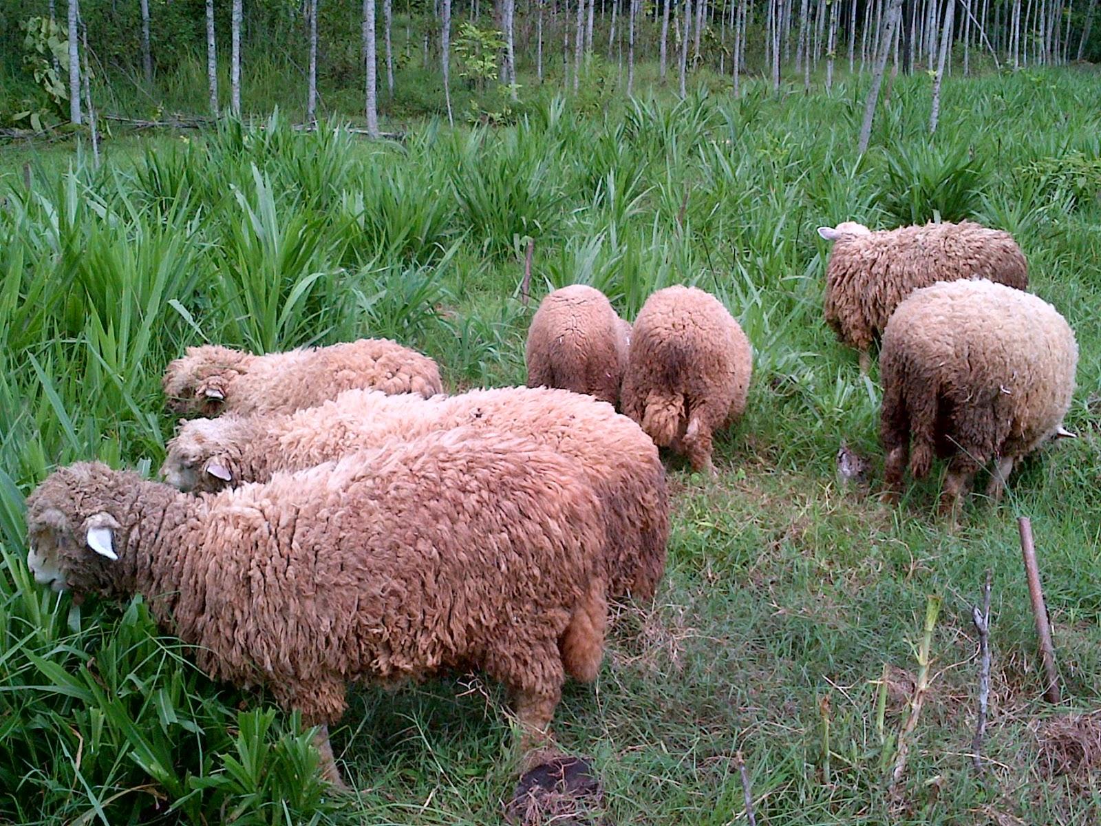 Jual Domba Merino - Peternakan Domba Merino - Budidaya Domba Merino 9ae431f557