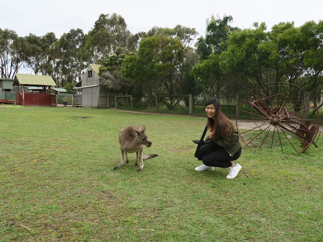 Getting pictures with the kangaroo,  Maru Koala and Animal Park, melbourne, australia
