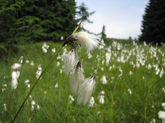 Wełnianka szerokolistna (Eriophorum latifolium).