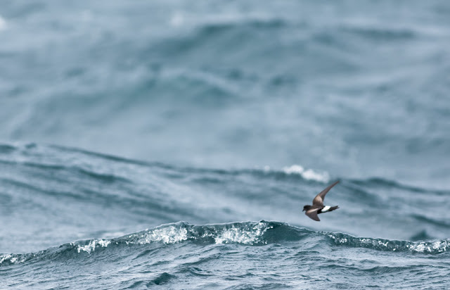 Wilson's Storm-petrel - Scilly Isles