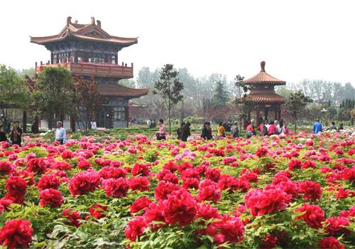 Peônias: cultivo de flores delicadas