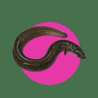 Kandungan Pada Komposisi Generos Gold - Ikan Sidat