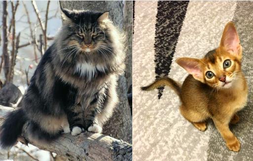 Le Chat norvégien vs Abyssin