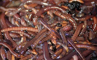European Nightcrawlers Vs Red Wigglers For Home Composting