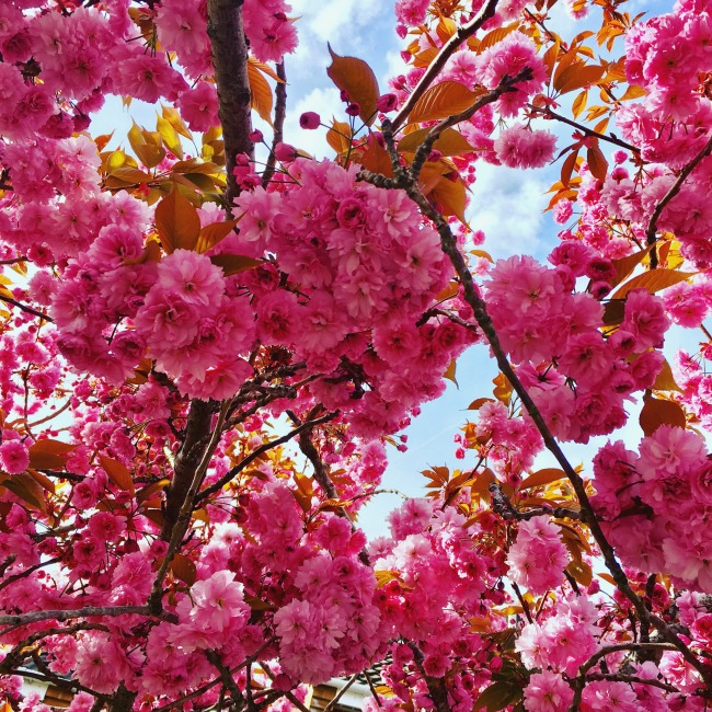 Our-Weekly-Journal-Grandad's-New-Hip-pink-cherry-blossom-against-blue-sky