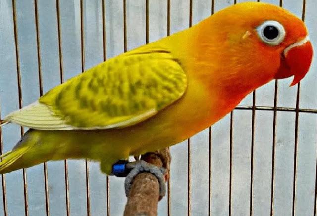 Lovebird Blorok