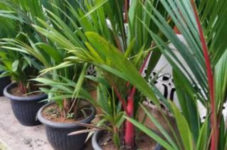 cara membudidayakan pohon palem
