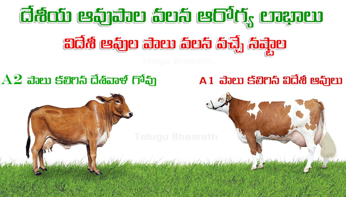 """వ్యాధి నిరోధకానికి అద్భుత ఔషధం, """"దేశవాళీ గోవు పాలు"""" - Desavali Cow Milk - Immunity Booster"""
