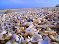 Крымское побережье ракушки
