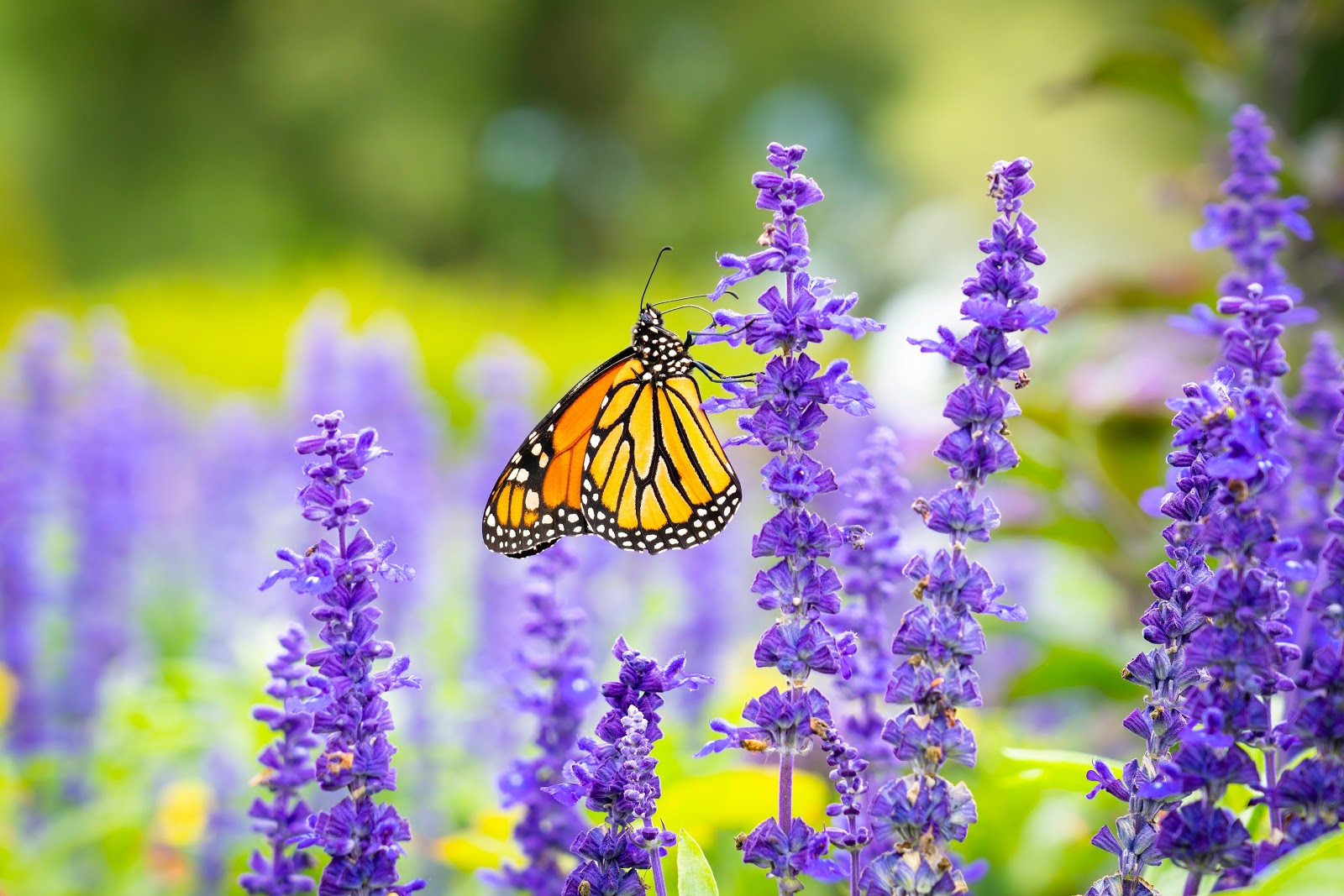 monarch-butterfly-perched-on-purple-flower-in-close-up-pictures